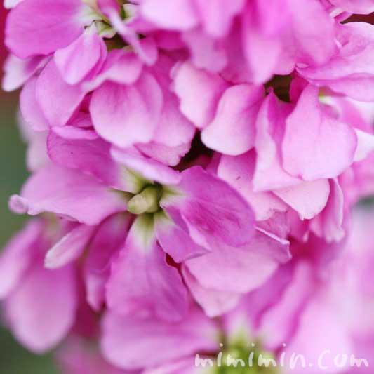 ストックの花言葉・ピンクのストックの花の写真の画像