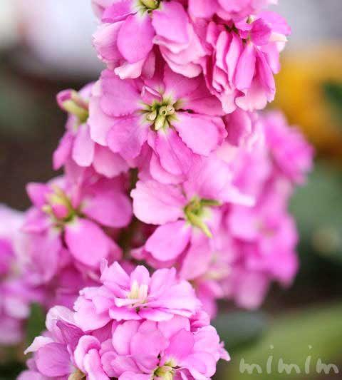 ストックの花の写真・ストックの花言葉
