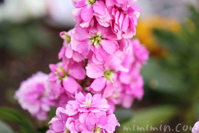 ストックの花言葉・ピンクのストックの花