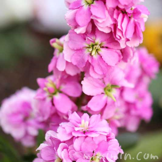 ストックの花言葉・ピンクのストックの写真の画像