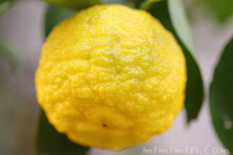 柚子の実の画像
