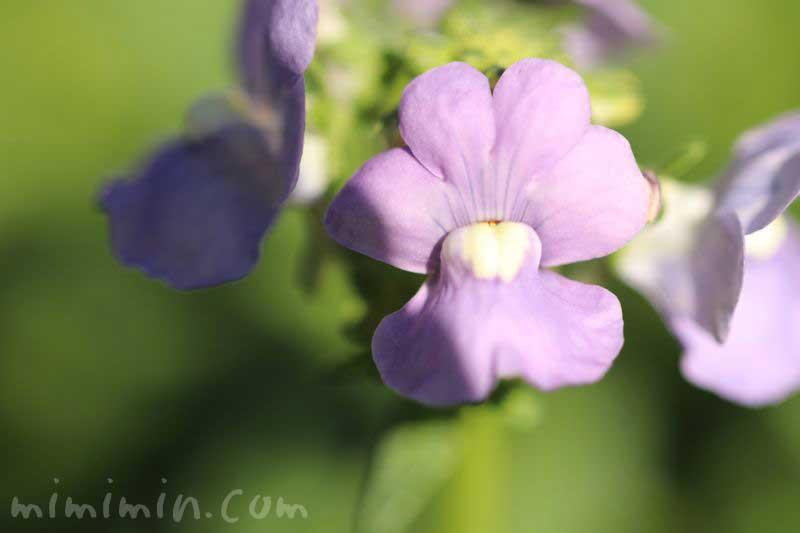 ネメシアの花・紫の画像