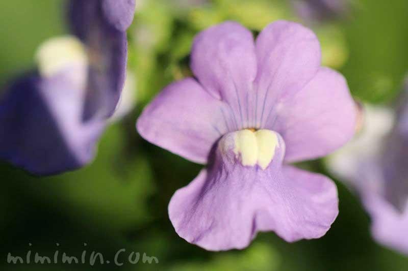 ネメシアの花・紫