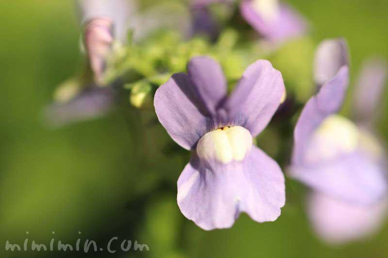 ネメシア・紫の写真