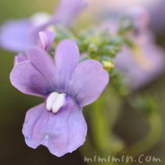 ネメシアの花の写真