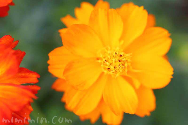 キバナコスモスの花の写真と花言葉と誕生花