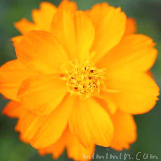 キバナコスモスの写真と花言葉と誕生花