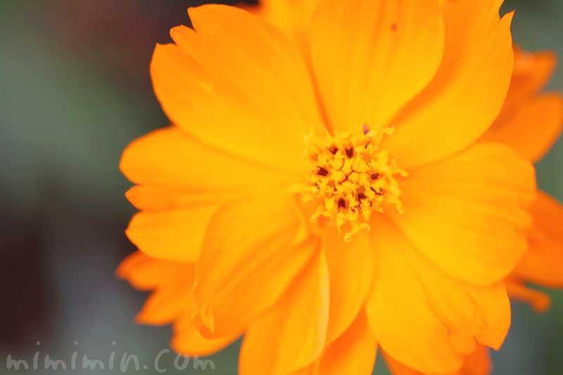 キバナコスモスの写真と花言葉・誕生花の画像