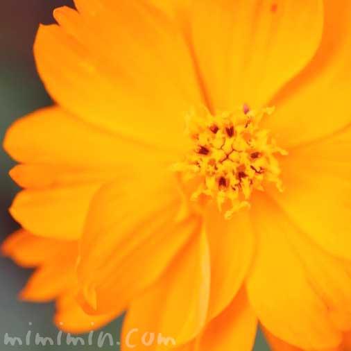 キバナコスモスの花の写真と花言葉・誕生花の画像