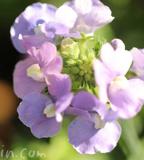 ネメシアの花言葉・名前の由来・誕生花
