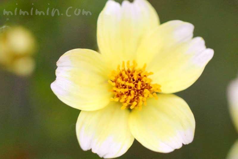 ウインターコスモスの写真・花言葉の画像