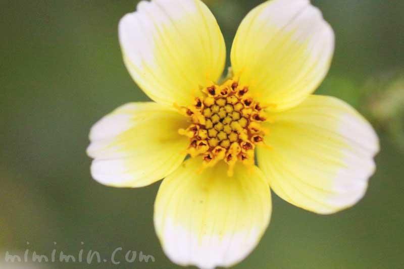 ウインターコスモスの花の写真・花言葉の画像
