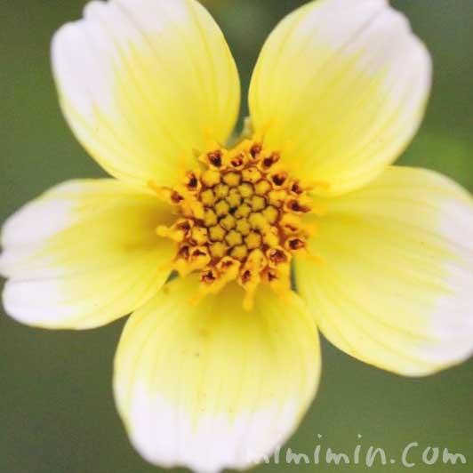 ウインターコスモスの写真と花言葉