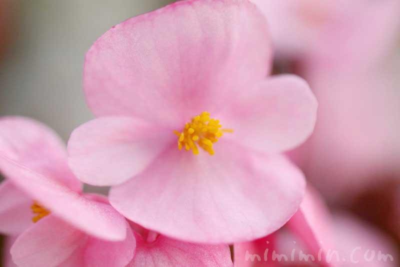 ベゴニア センパフローレンスの写真・花言葉の画像