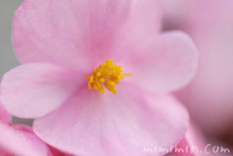 ベゴニア センパフローレンスの花の写真と花言葉