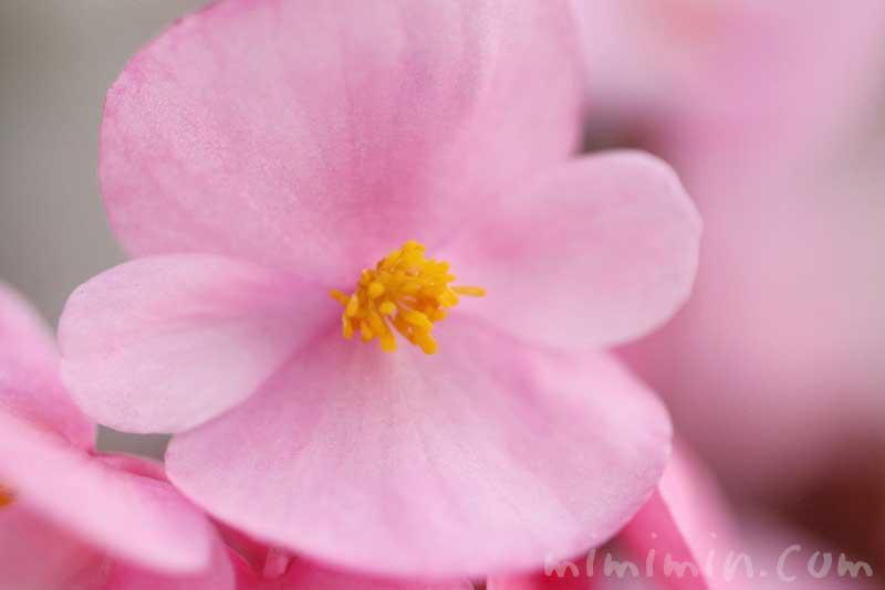 ベゴニア センパフローレンスの花の写真・花言葉の画像