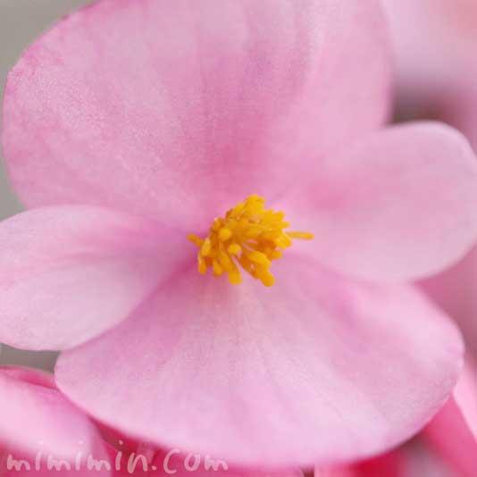 ベゴニア センパフローレンスの写真と花言葉