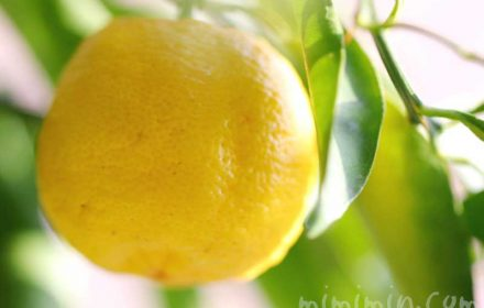 柚子の実の画像と柚子の花言葉の写真