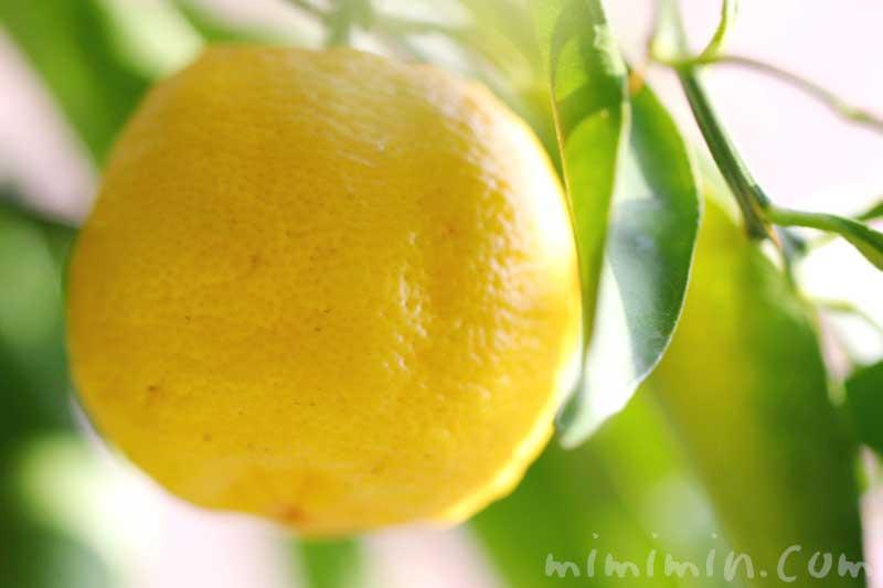 柚子の実の写真と柚子の花言葉の画像