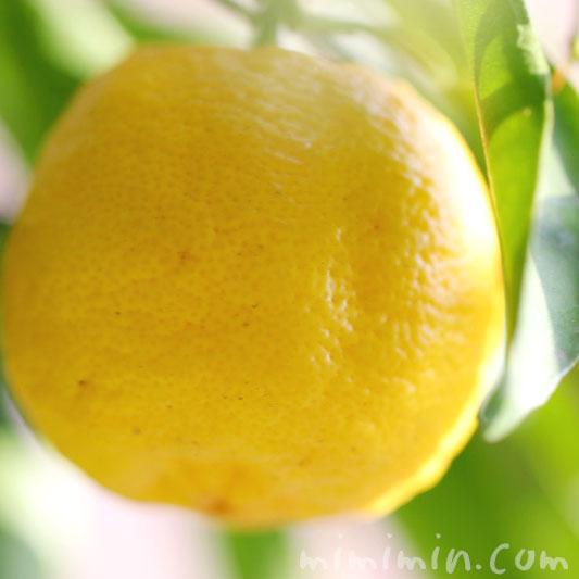 ユズの実の写真とユズの花言葉の画像