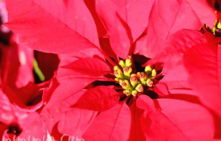 ポインセチアの花の写真・花言葉の画像