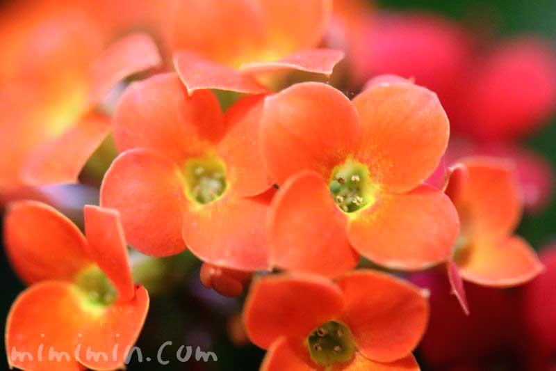 カランコエの花(オレンジ色)