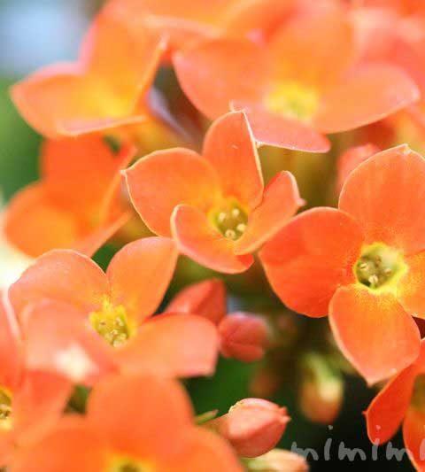 カランコエの花の写真・花言葉・名前の由来