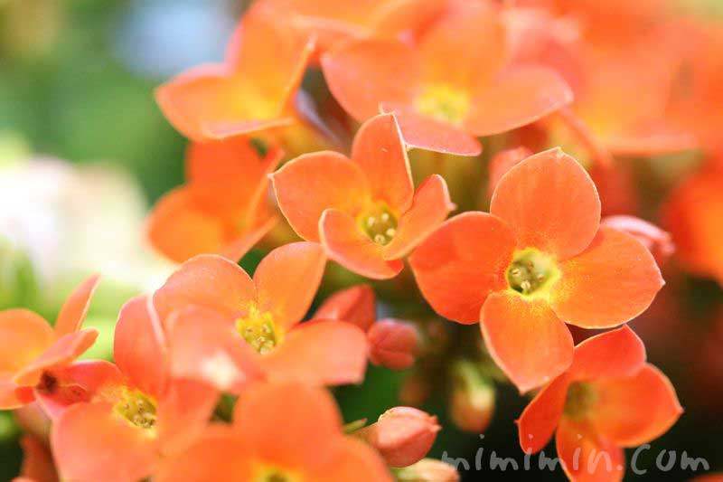 カランコエの花(オレンジ色)の写真