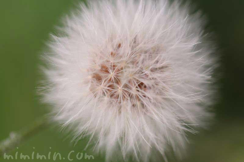ノゲシの綿毛の画像