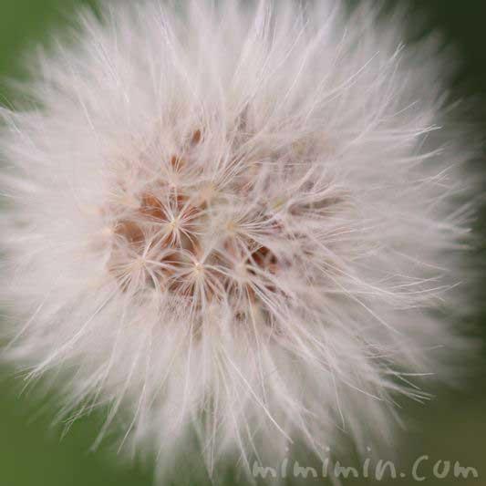 野芥子の綿毛の画像