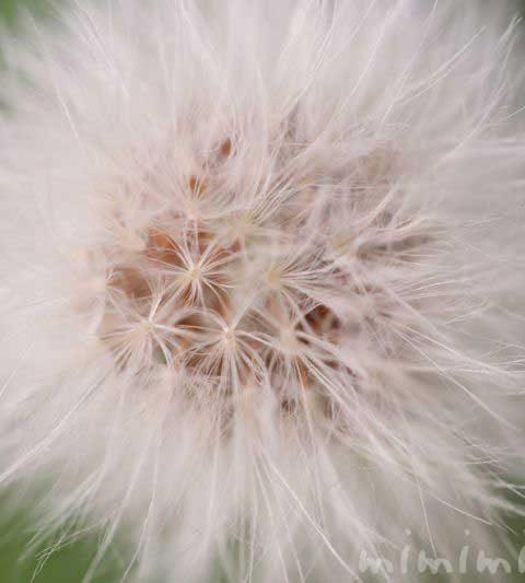 ノゲシの花言葉・名前の由来・ノゲシとタンポポの違い