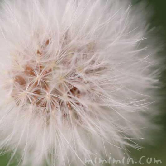 野芥子の綿毛