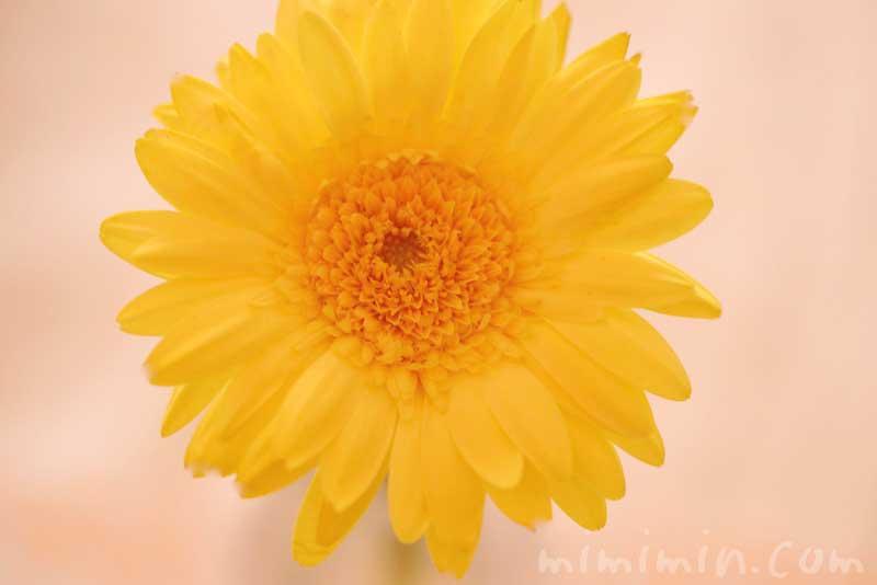 ガーベラ(黄色)の写真と花言葉