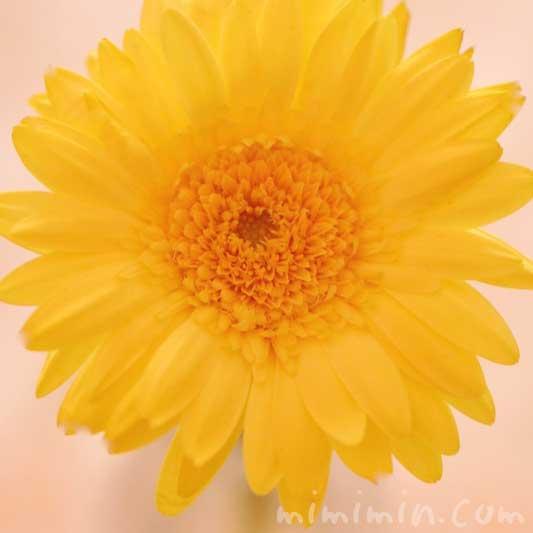 黄色いガーベラの花の写真と花言葉の画像