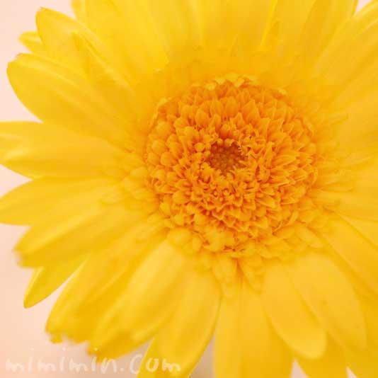 黄色いガーベラの写真と花言葉の画像