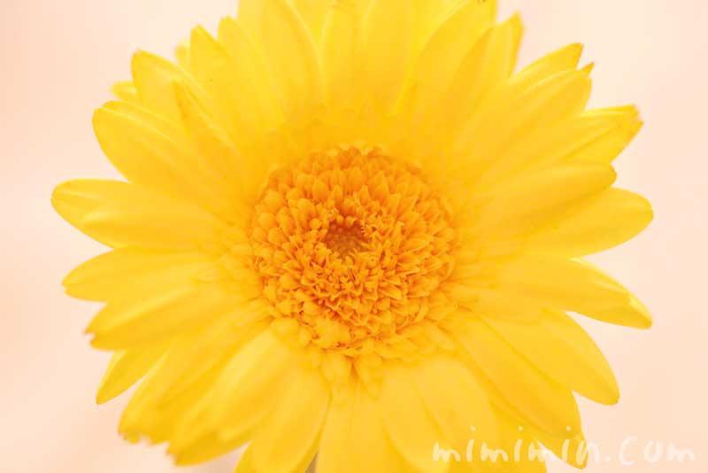 ガーベラの花(黄色)の写真と花言葉
