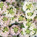 スイートアリッサムの花(ピンク×白)の画像