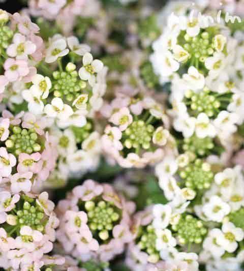 アリッサム(スイート アリッサム)の花言葉・名前の由来・誕生花