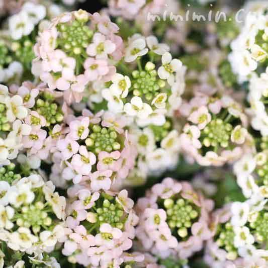 アリッサムの花言葉・ピンクと白のアリッサムの花の写真