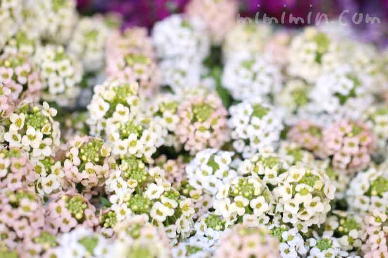 アリッサムの花(ピンク×白)の写真