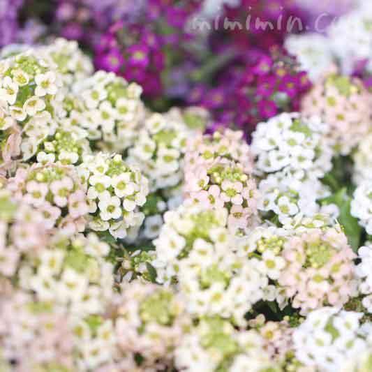 スイートアリッサムの花言葉・ピンクと白のスイートアリッサムの花の写真の画像