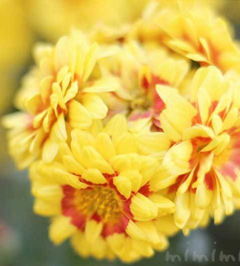 スプレーマムの花の写真・花言葉・名前の由来