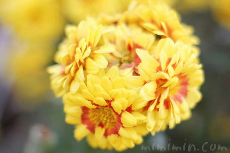 菊(キク)の花言葉と効能の画像