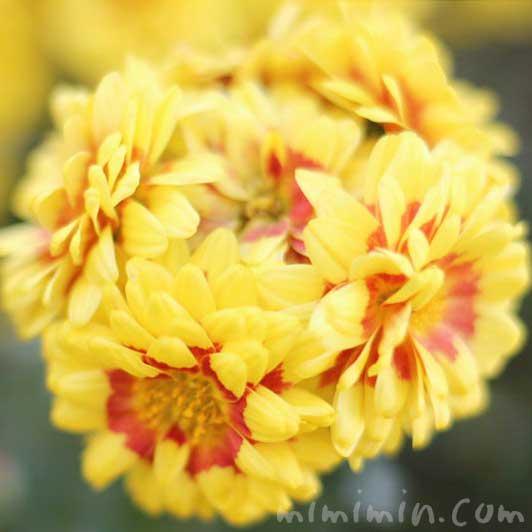 菊(キク)の写真と花言葉と効能の画像