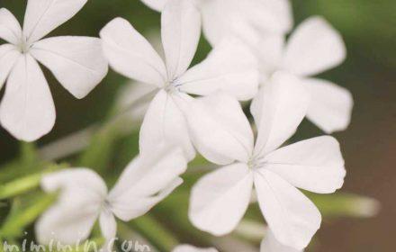 白いルリマツリの花の写真・花言葉の画像