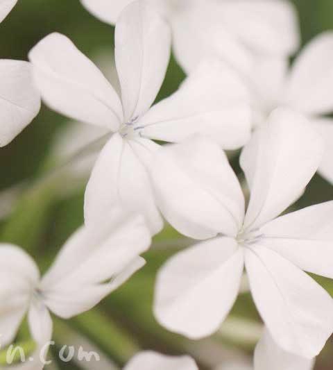 ルリマツリの花言葉・名前の由来|白いルリマツリの写真