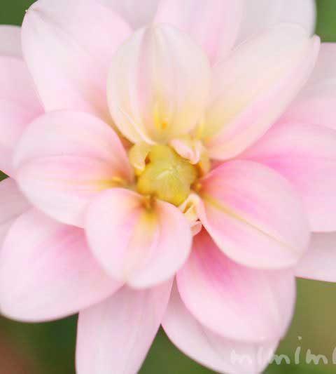 ダリアの花の写真&花言葉&名前の由来