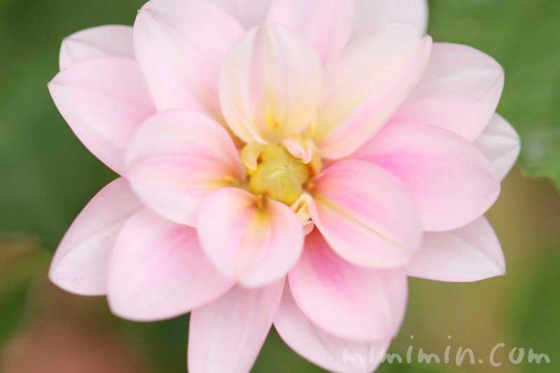 ダリアの写真&花言葉&名前の由来の画像