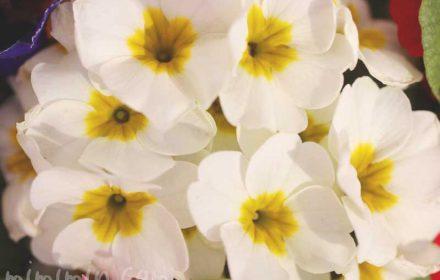プリムラ ポリアンサ 白の画像