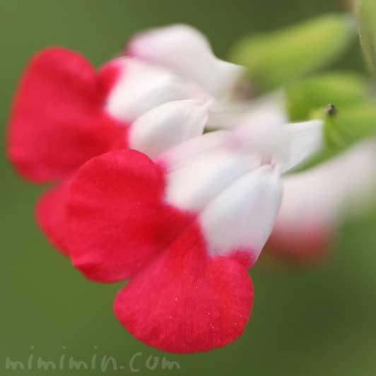 チェリーセージの写真と花言葉と誕生花